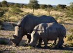 Waterberg, nosorožci, Bílí nosorožci (matka a mládě), zájezd Namibie červen 2018