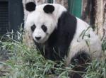 Berlin ZOO, panda
