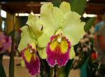 orchidej, orchidej
