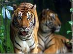 Malajsie  tygr -